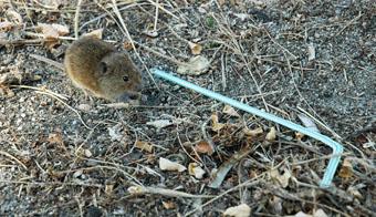 Topillo de Fresno el Viejo junto a una pajita de plástico, que orienta del tamaño del roedor.